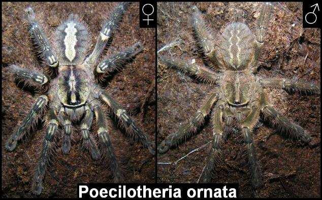Половой диморфизм ювенильных особей Poecilotheria ornata