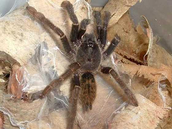 Encyocratella olivacea, ювенильный паук
